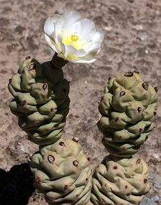 Tephrocactus articulatus var oligacanthus