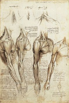 Leonardo da Vinci drawings: studies of the muscles of the neck, shoulder, chest, arm Arm Anatomy, Anatomy Study, Anatomy Art, Anatomy Drawing, Anatomy Reference, Human Anatomy, Anatomy Sketches, Human Muscle Anatomy, Body Sketches