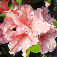 Enjoy Flowers From Spring Through Fall With This Sun-Tolerant Azalea!