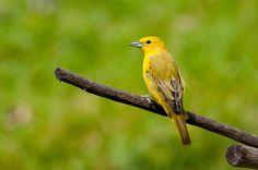 Foto sanhaçu-de-fogo (Piranga flava) por Ivan Angelo | Wiki Aves - A Enciclopédia das Aves do Brasil