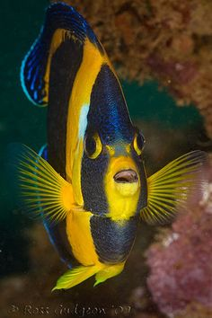 I believe this is an Angelfish
