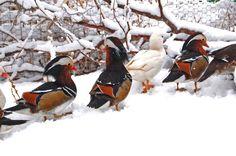 4 Mandarin Duck Split White Hatching Eggs | eBay