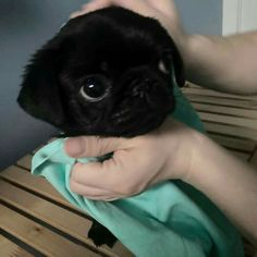 more details on funny pugs. Browse through our website.Learn more details on funny pugs. Browse through our website. Black Pug Puppies, Cute Pugs, Cute Dogs And Puppies, Cute Funny Animals, Cute Baby Animals, Pet Dogs, Pets, Funny Pugs, Bulldog Puppies