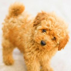 Apricot Miniature Poodle. AKC and UKC Poodles. California Poodle Breeder.Red and Apricot Poodles. Scarlet's Fancy Poodles.
