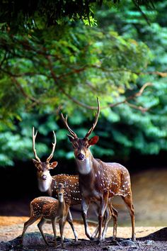 Deer Family in the forest!