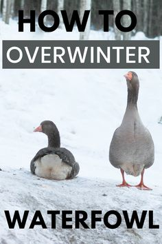 Living in Alaska, we give extra care to our animals to keep them healthy and comfortable during the long, freezing winters. Here's how we overwinter our waterfowl. Backyard Ducks, Backyard Farming, Keeping Ducks, Raising Farm Animals, Raising Backyard Chickens, Living In Alaska, Grow Your Own Food, Herbalism, Homesteading