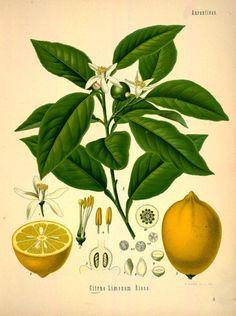 Citrus Limonum Risso( lemon).Plate from 'Kohler's Medizinal Pflanzen' Published 1883