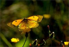 Yellow butterfly    Flickr - Photo Sharing!