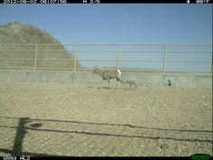 Ewe and Lamb on SR-93 Wildlife Crossing