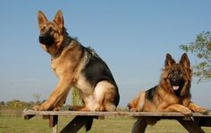 German Shepherd Training Tips and Techniques