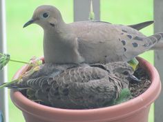 Mama and baby dove in my garden