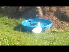 Silly Ducks at Silly Goats Farm...Mr. P.  and Lavern In The Pool!
