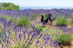 Chickens at Girl on the Hill Lavender Field