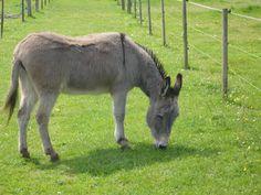 Tracey the opera star @ Island Farm #Donkey Sanctuary UK @ www.donkeyrescue.co.uk