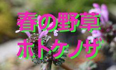 【富山散策】 春の野草 「ホトケノザ」