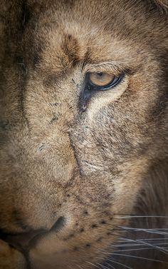 Sad Lion - Portrait Of A Lion
