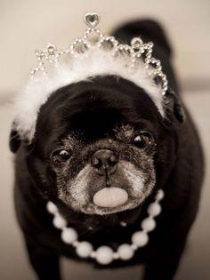 Sassy princess pug