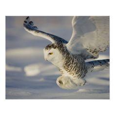 ImageID: 42-21697847 / Theo Allofs / Corbis / Snowy Owl in Flight Hunting / #adult #animal #animal #animals #bird #bird #of #prey #canada #flying #hunting #natural #world #nobody #north #america #one #animal #owl #predator #profile #seasons #snow #snowy #owl #wildlife #winter