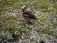 Suurnokk-vint ehk suurnokk (Coccothraustes coccothraustes) Hawfinch, Blue Jay, Bird, Animals, Animales, Animaux, Birds, Animal, Animais