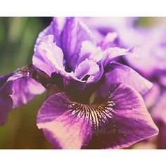 Wild Iris Fine Art Photography Feminine Flower Petal Purple Plum... ($26) ❤ liked on Polyvore featuring home, home decor, wall art, blossom wall art, purple flower wall art, spring wall art, purple wall art and flower stem