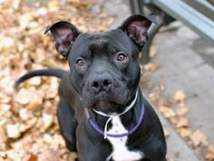 TO BE DESTROYED 11/17/13  Manhattan Center -P  & white pit bull mix.  2 YRS  STRAY 11/07/13  Great on leash, checking in every so often. Loves to play fetch!  Even though Pumba's past is a mystery, his nice coat and manners hint at  a family pet, likely house trained,  Comes when called. Aced his behavior exam.  Should fit in comfortably w/ most families. Eager to please & ready to work on fine tuning his manners. Spend a little time with him & see the POTENTIAL IN THE MAKING!