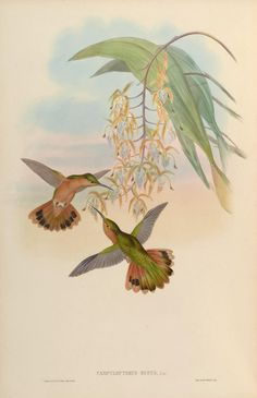 A monograph of the Trochilidæ, or family of humming-birds. v.2. London :Printed by Taylor and Francis ;1861 [i.e. 1849-1861] Biodiversitylibrary. Biodivlibrary. BHL. Biodiversity Heritage Library.