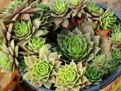 """""""Hens and chicks """" photos by artfromperry"""