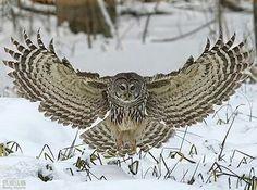 "questforwildlife: "" ""You've Been Barred"" Barred Owl photo captured near Angus, Ontario Canada in the Minesing Wetlands. Owl Photos, Owl Pictures, Owl Bird, Pet Birds, Birds 2, Strix Nebulosa, Short Eared Owl, Barred Owl, Great Grey Owl"
