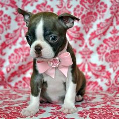 Stunning Tiny Boston Princess. #6769. Beautiful Red Coat & Green Eyes! She weighs 2 lb at 9 weeks. Call for more information (352)854-3325 Ask about hand delivery  Price: $1,650.00