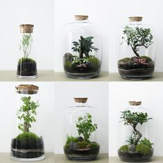 Helpful Guidelines In Growing Indoor Bonsai Trees Bottle Terrarium, Bottle Garden, Terrarium Plants, Succulent Terrarium, Glass Garden, Succulents Garden, Indoor Garden, Indoor Plants, Indoor Bonsai Tree