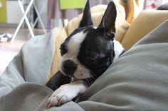 Merion is lazy lazy lazy Boston Terriers, Lazy, Dogs, Animals, Animales, Animaux, Boston Terrier, Pet Dogs, Doggies