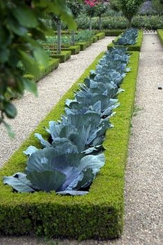 The Kitchen Garden - Cabbages Surrounded By Clipped Boxwood...