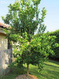 Full size picture of Lemon Tree 'Eureka' (Citrus limon). In shed corner.