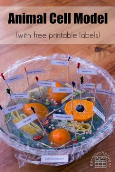 Fun demonstration of cell biology using food to make an animal cell model for kids. An easy, memorable activity to get kids excited about science. via @researchparent Biology For Kids, Science Projects For Kids, Science Activities For Kids, Science Experiments Kids, Science Fun, Life Science, School Projects, Science Models, Stem Projects