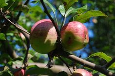 apples+green tomatoes=gooey mincemeat - A Way to Garden