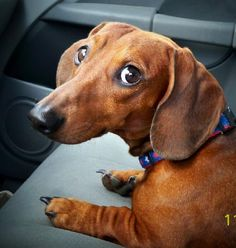Kole - Red Smooth Dachshund - Available for Adoption