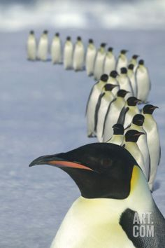 Emperor Penguins Marching Photographic Print