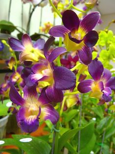 Purple dendrobiums with a pop of yellow...I know you've seen many dendrobs but I thought it was so nice to see them among their foliage...beautiful!