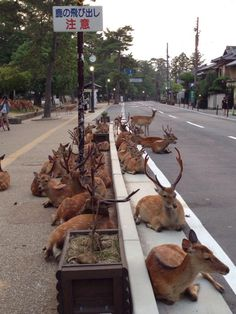 Nara's deer continue their summertime tradition of commandeering one of the city's streets