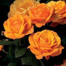 Good As Gold Hybrid Tea Rose | Hybrid Tea Roses | Edmunds' Roses