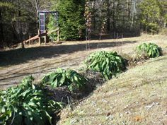 Comfrey growing on a permaculture swale at Cedar House Inn and Yurts permaculture site in Dahlonega, GA. Comfrey is a dynamic accumulator- brings up minerals from it's deep tap root to fertilize the surrounding plants. This picture taken in December and this will be harvested for future use. A wonderful perrenial that is happy every year.