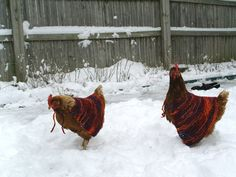 "chicken sweaters..this made me laugh so hard! When I was young my brother had a ""pet"" chicken just like that. LOL"