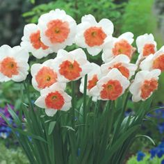 PRECOCIOUS has large very pretty frilled orange pink cups with creamy white petals. Daffodils prefer a full sun to part shade position, in well drained soil. Easy to grow they are Ideal for pots and containers, or leave in the ground year after year and the%...