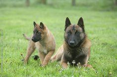 Belgian Malinois Shepherd Dog