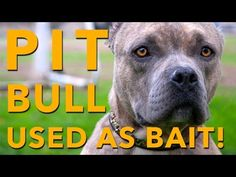 You Won't Believe What This Pit Bull Has Gone Through! Please share. - YouTube -- Help Precious find a forever home.