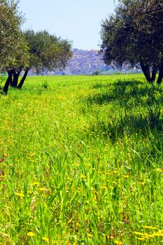 Olive trees and wild flowers