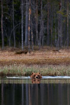 Ours brun, Finlande                                                                                                                                                                                 Plus