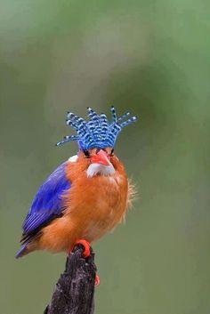 Malaquila Kingfisher