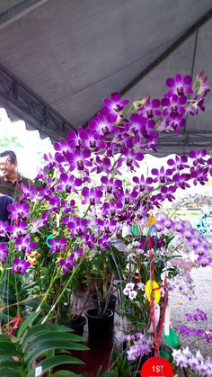 orchid dendrobium fire wings | OrchidCraze
