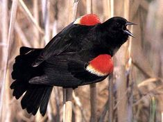 Another sign of spring spotting a red winged blackbird during the Brantford to Mt. Pleasant bike loop ride Mar 17/12.